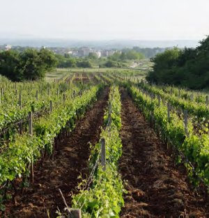Vineyard in Medjugorje